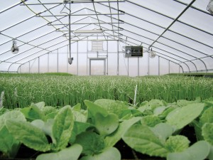 Organic greens growing in greenhouse