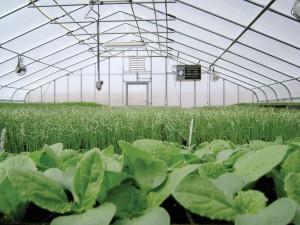 Organic greens growing in greenhouse