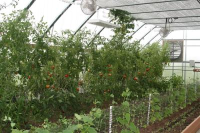 Tomato plants with root-zone heating
