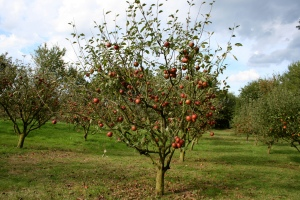 Semi-dwarf apple tree