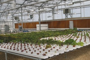 NFT Hydroponic Lettuce System