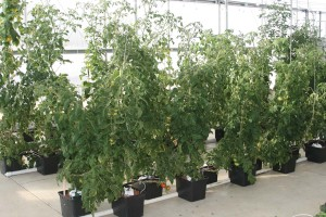 Hydroponic tomatoes in dutch buckets