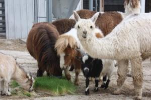 Livestock eating fodder grown in  Fodder-Pro Feed System