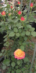 Roses in cold frame