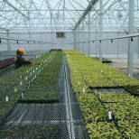 Seedlings in commercial greenhouse