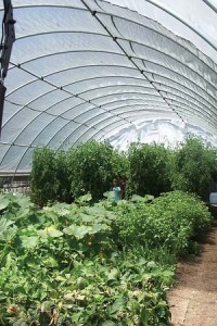Tomatoes and lettuce in a high tunnel
