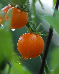 Watered Tomatoes