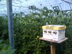 Bees to Pollinate Tomatoes in Greenhouse
