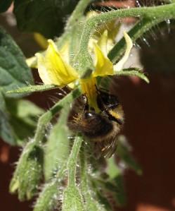 Bee on Tomato Flower