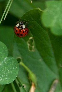 Ladybug on Tomato Plant