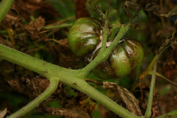 Late Tomato Blight