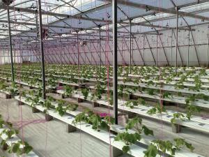 Large scale hydroponic operation.