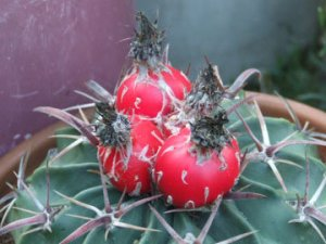 Horsecrippler cactus fruit