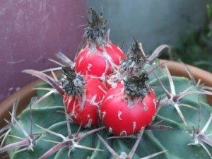Horsecrippler cactus fruit