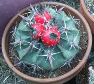 Horsecrippler cactus