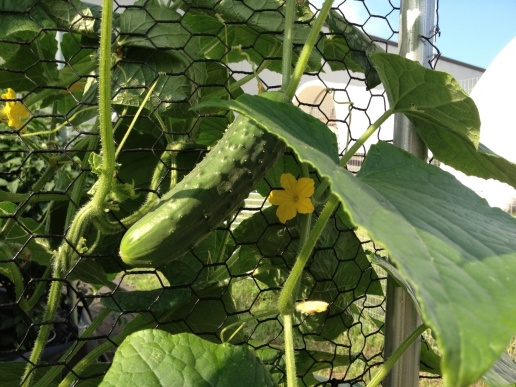 Cucumbers growing up the trellis system.