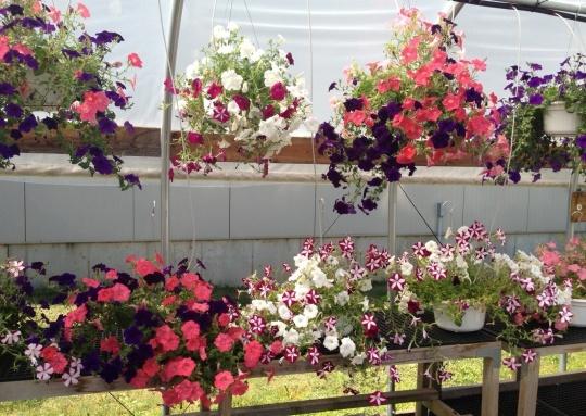 Petunias in hanging baskets.