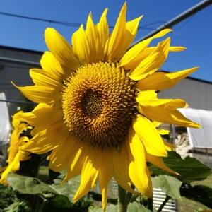 Big, bright sunflower