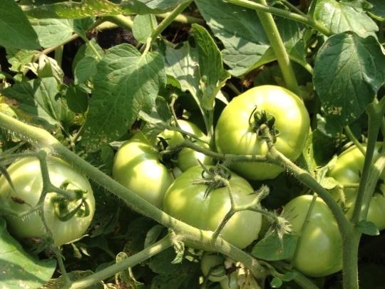 Nearly ripe tomatoes.