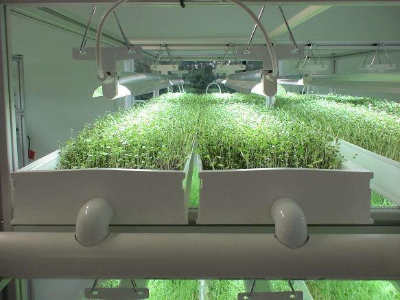 Growing microgreens in an NFT hydroponic system