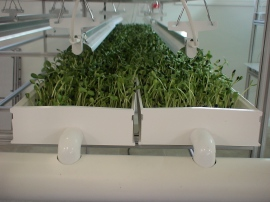 Pea shoots in NFT channels