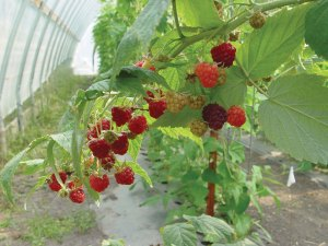 Raspberries Grown in a High Tunnel