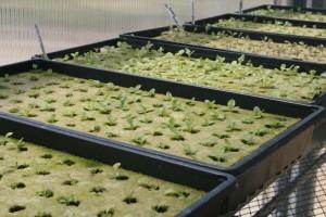 Lettuce seedlings in rockwool