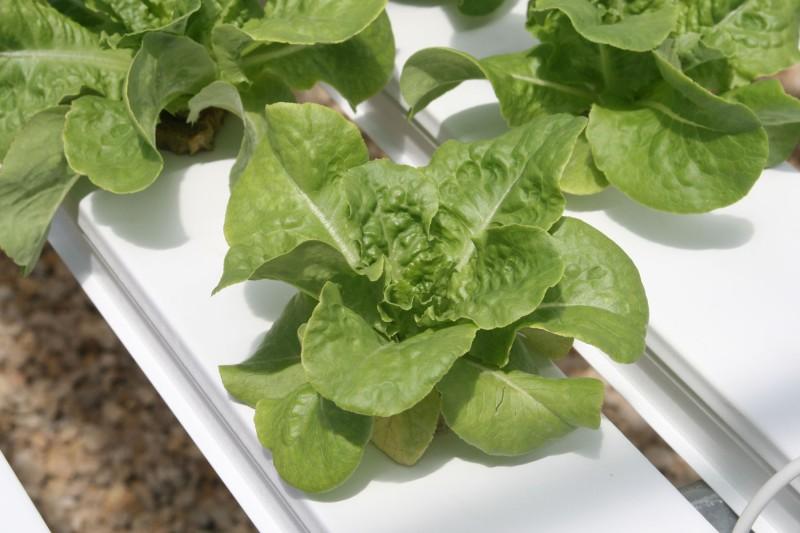 Lettuce in NFT channels