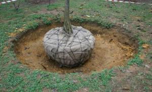 tree root ball