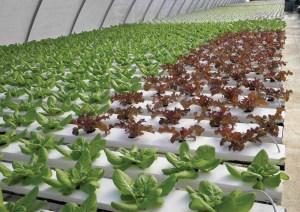 Hydroponic lettuce system