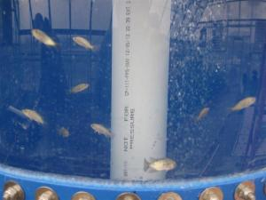 tilapia growing in stock tank