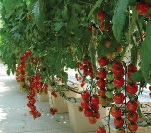 Dutch bucket tomatoes