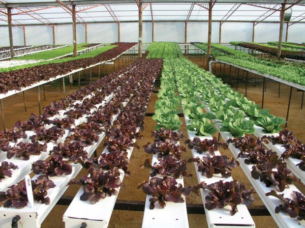 Hydroponic lettuce tables