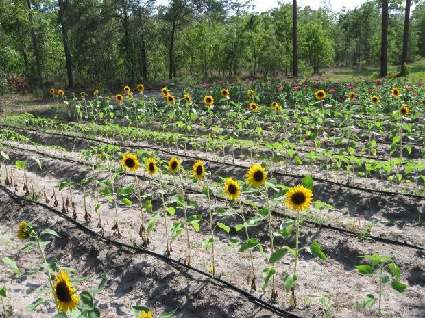 Drip irrigation image