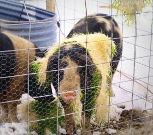 Animals at Narrow Way Ranch eating fodder