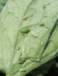 Aphids on tomato leaf