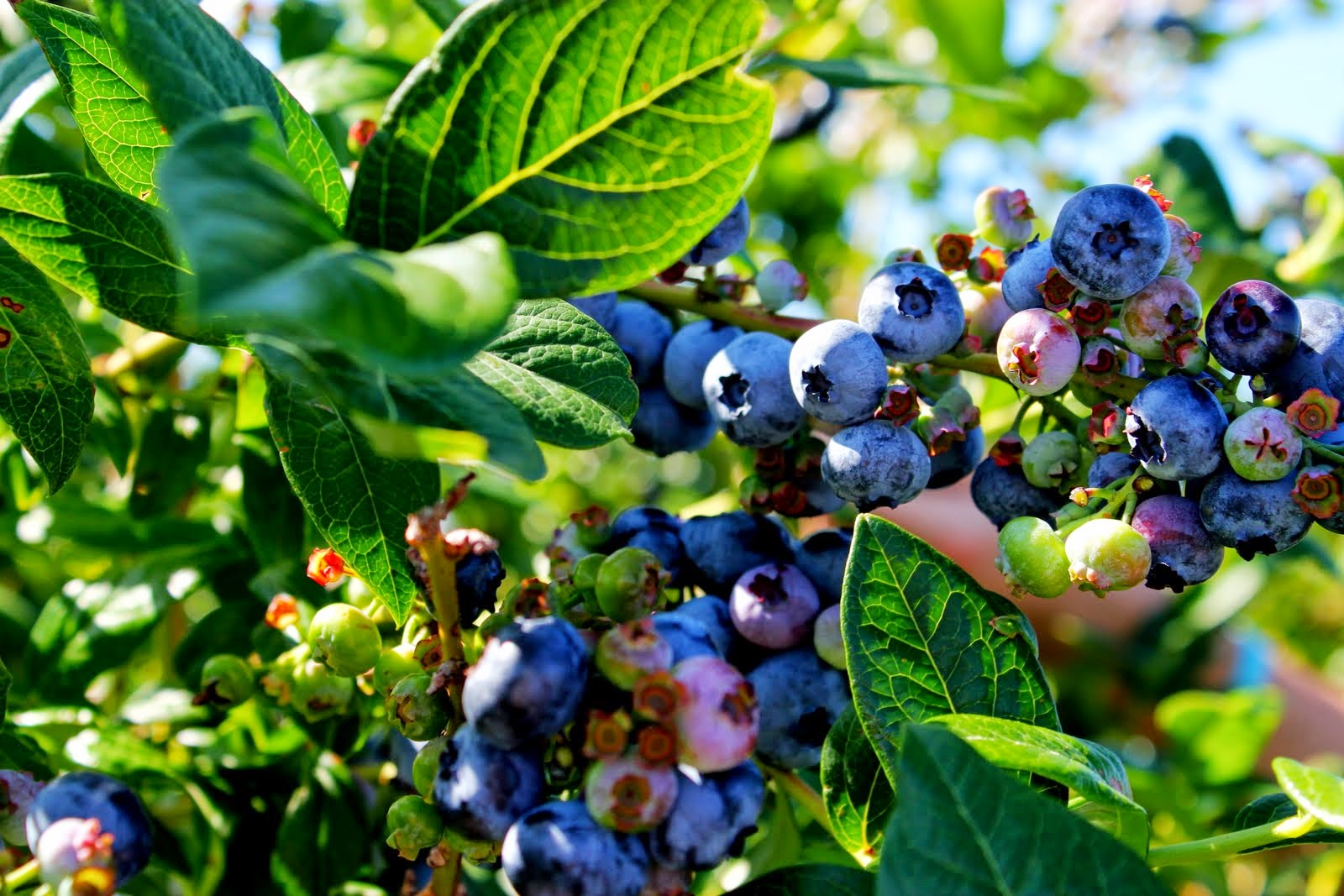 how to keep soil acidic for blueberries