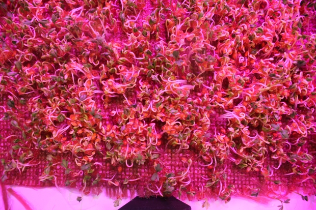Cotyledon Stage of Microgreens