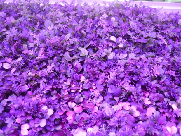 Microgreens ready for harvest