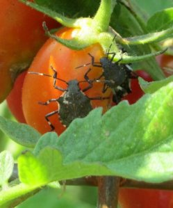 stink bugs on tomato