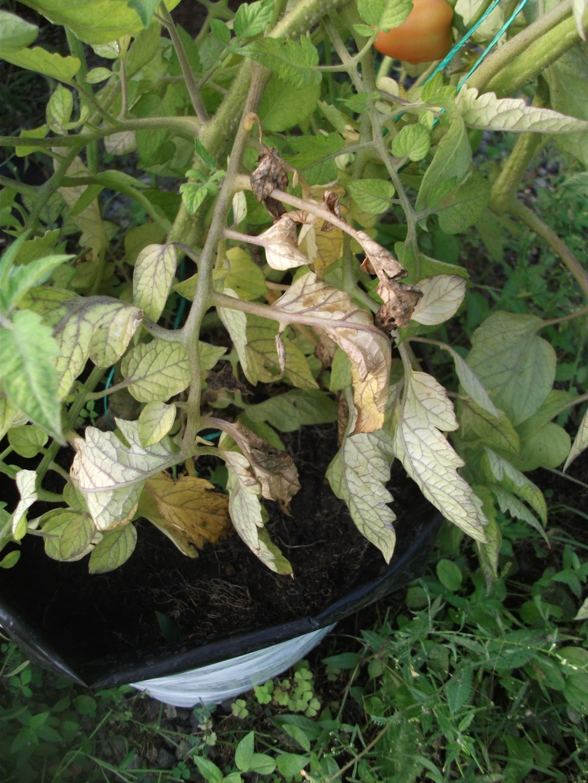 Tomato Plant with Wilt