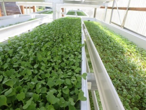 Microgreens produced at Tillamook High School