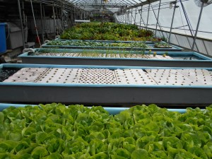 Hydroponic produce