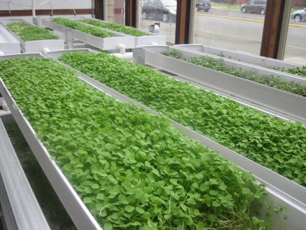 Microgreens at Tillamook High School