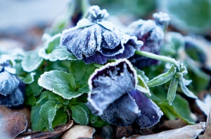 Crops affected by frost