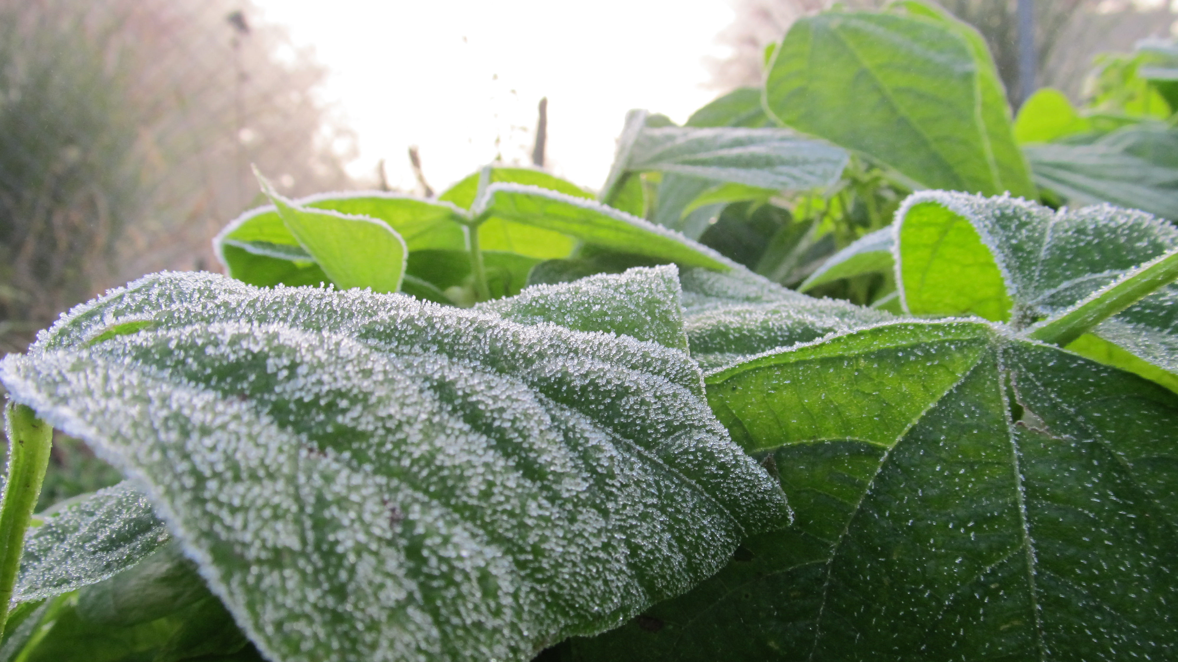 Frost on crops