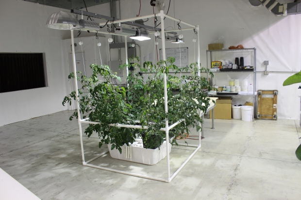 tomato dutch bucket growing system
