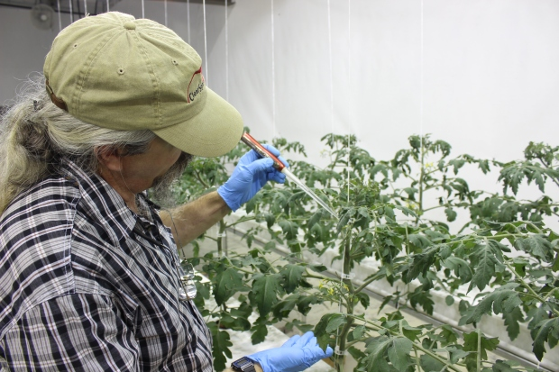 Pollinating tomatoes with a veggibee