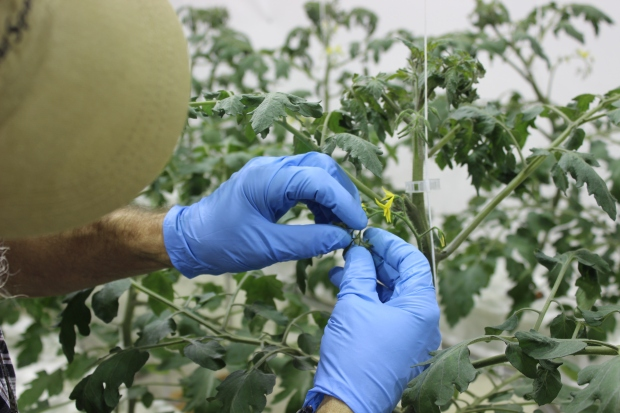 Removing flowers from a tomato plant