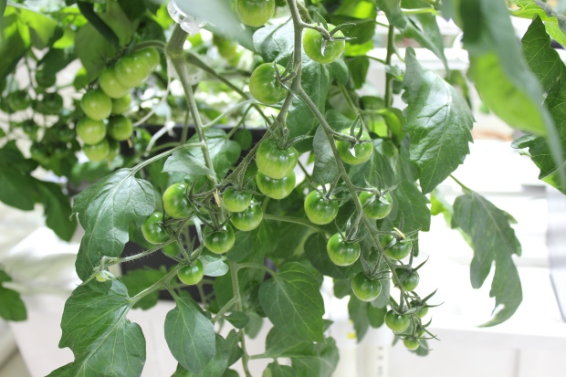 Double belt on cherry tomatoes